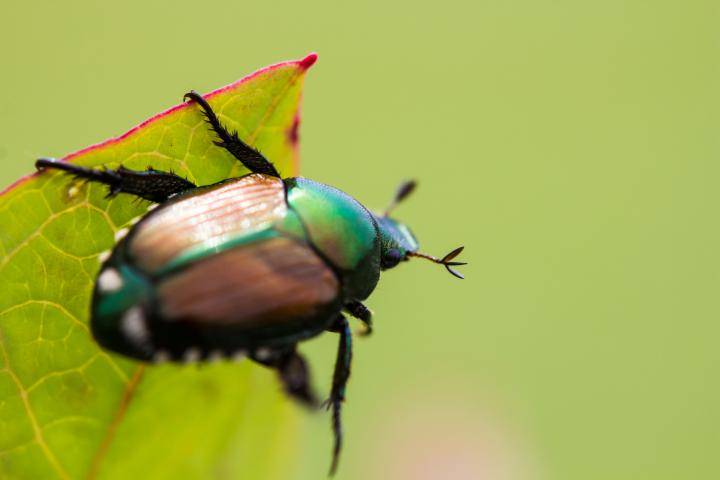 what-to-do-when-japanese-beetles-arrive